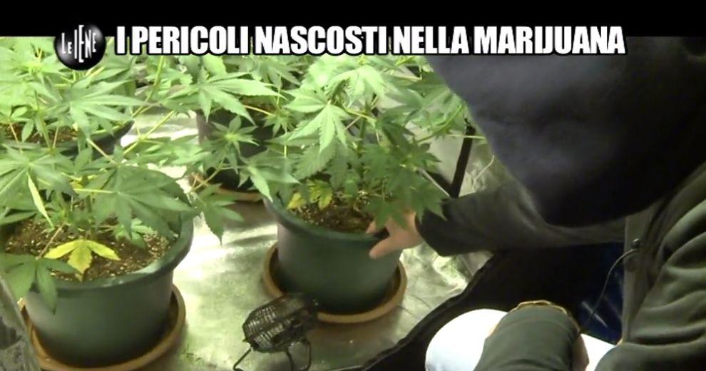 pelazza-marijuana-3